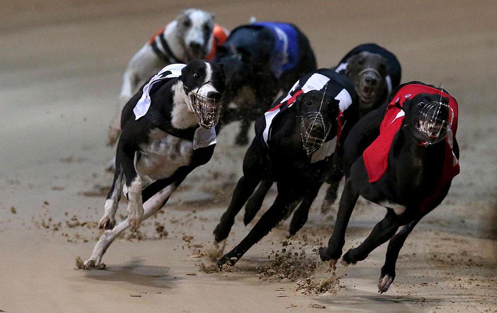 Irish-Greyhound-Derby-18